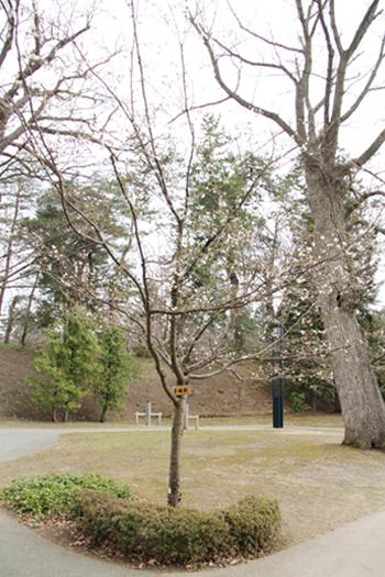 弘前公園 子福桜(コブクザクラ)の木