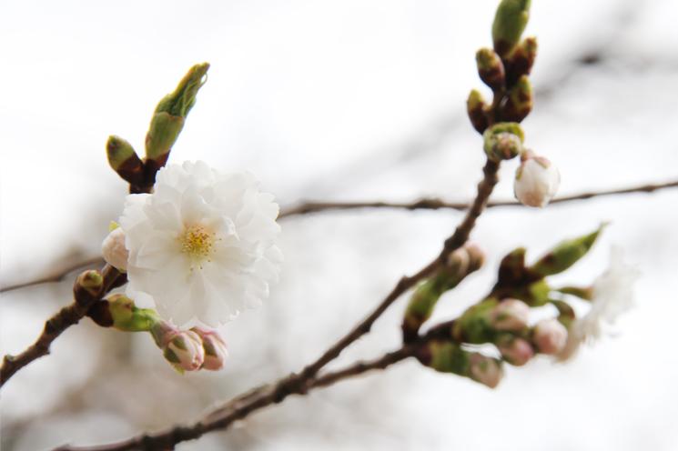 弘前公園有料区域「北の郭」子福桜(コブクザクラ)の花が咲き始めました