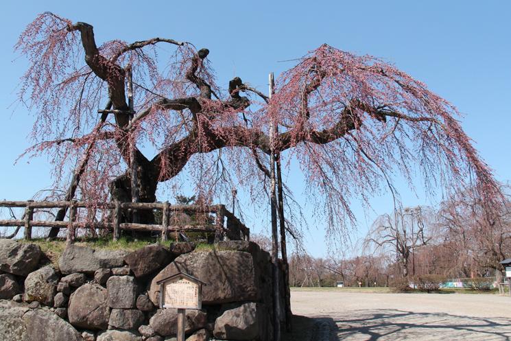 樹齢100年以上の桜弘前シダレの開花が進んでいます。弘前城の様子 2014/4/19