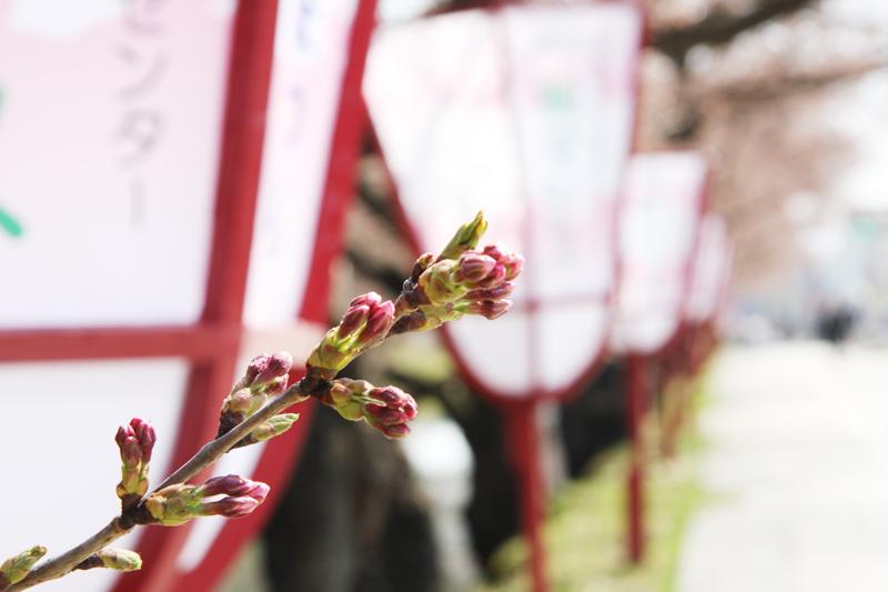外濠の桜とぼんぼり