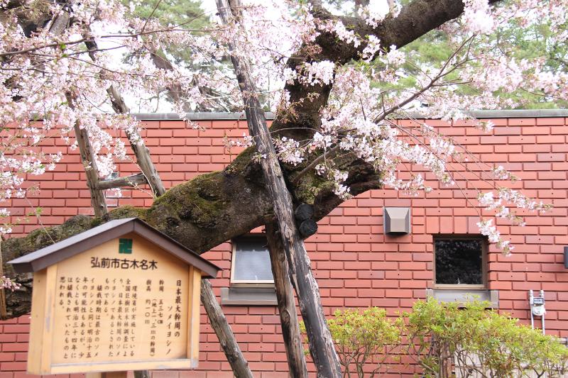 弘前さくらまつり3日目!外濠(南側)は7分咲きとなり見ごろを迎えております