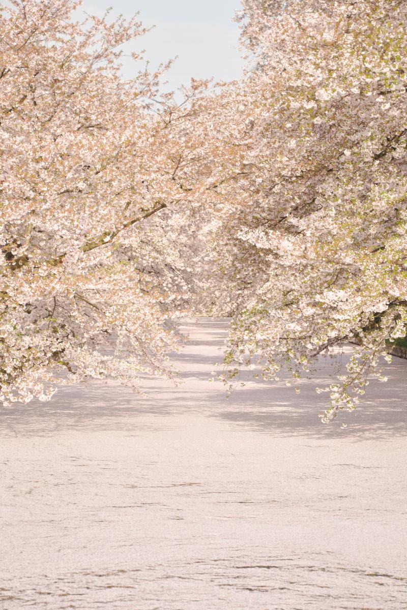 弘前公園・弘前城の桜の絨毯が見ごろです!