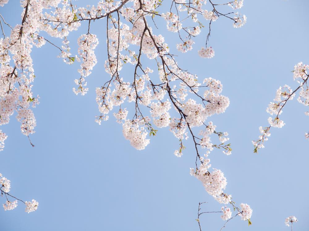 弘前さくらまつり 2015年4月24日 弘前公園・弘前公園前ローソン付近の様子