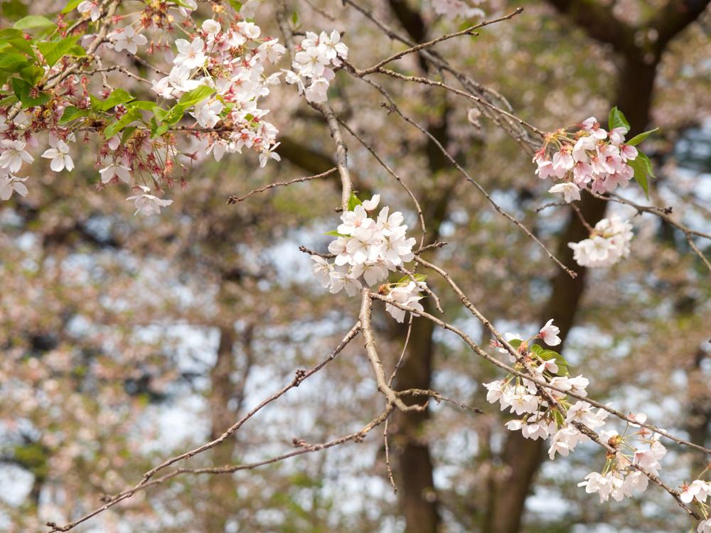 2015年4月28日 弘前公園・弘前城 外濠の桜の様子 class=
