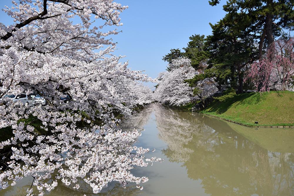 弘前公園・追手門口付近 桜(2015年4月23日)
