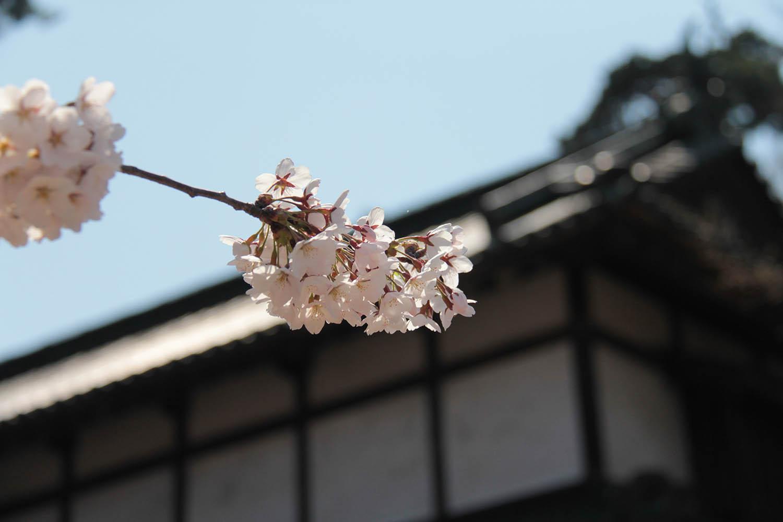 日本最古のソメイヨシノと東内門