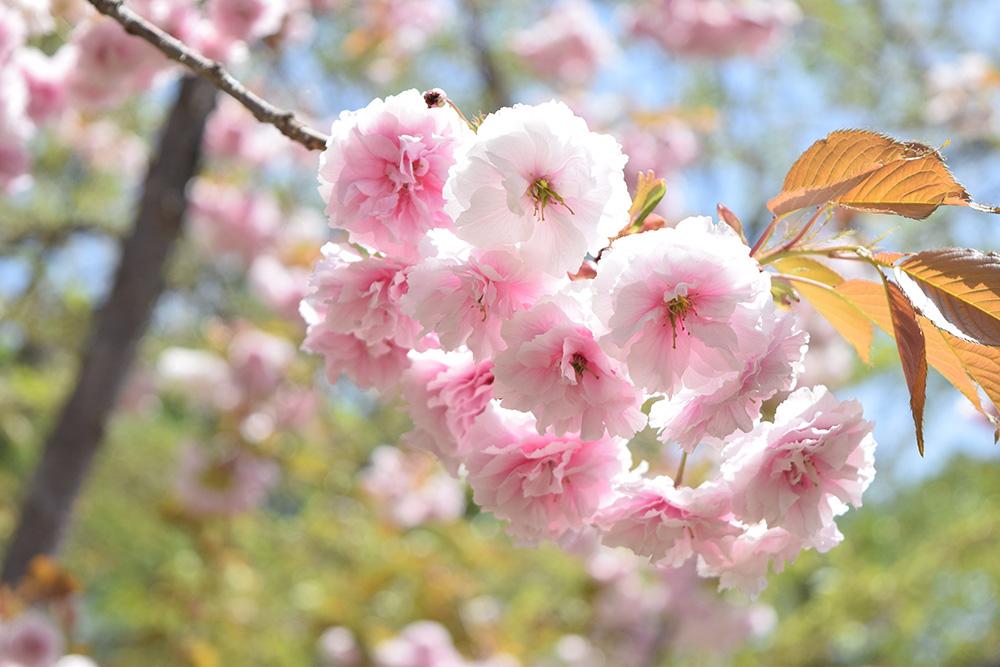 2015年5月6日 ピクニック広場 普賢象(弘前公園・桜)
