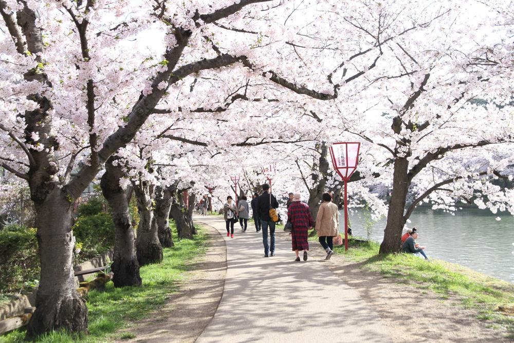 2016年4月24日付 弘前公園さくら情報(第14回)【弘前公園・弘前城】