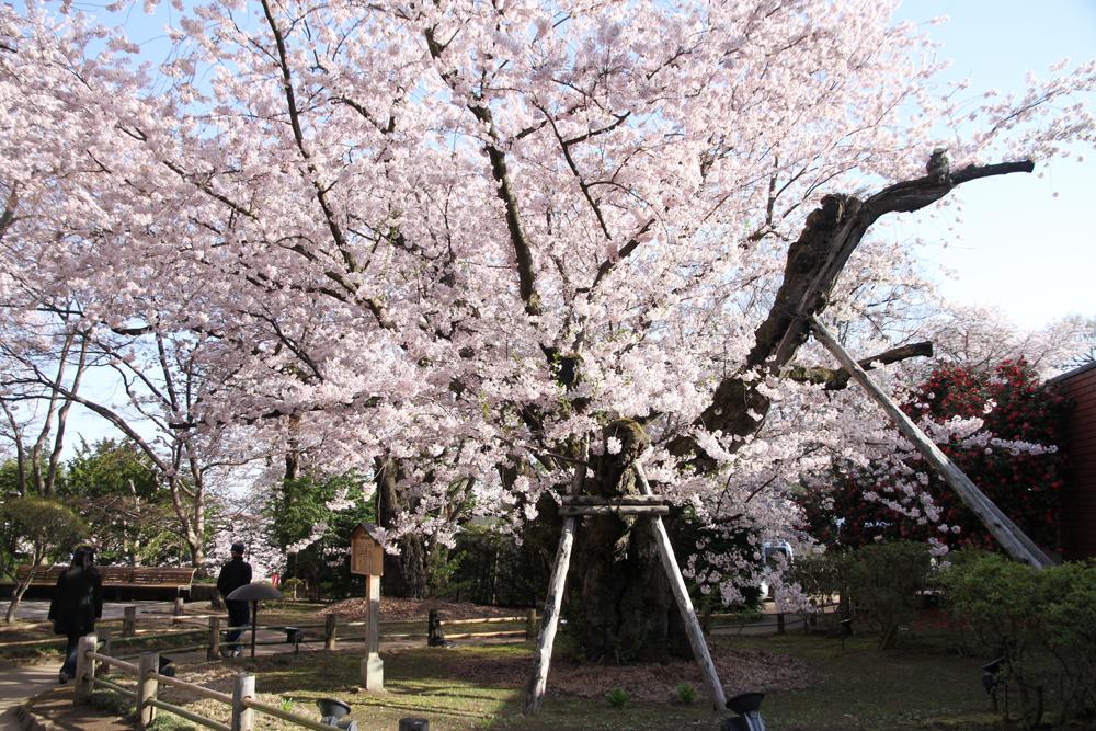2016年4月24日 日本一太いソメイヨシノ様子