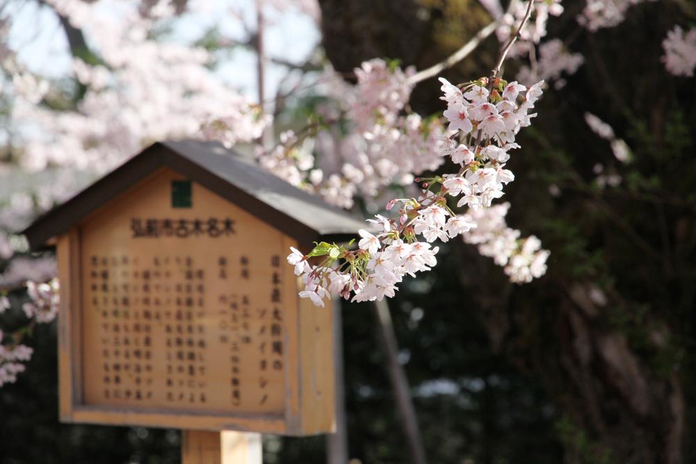 2016年4月24日 日本一太いソメイヨシノ 桜の様子