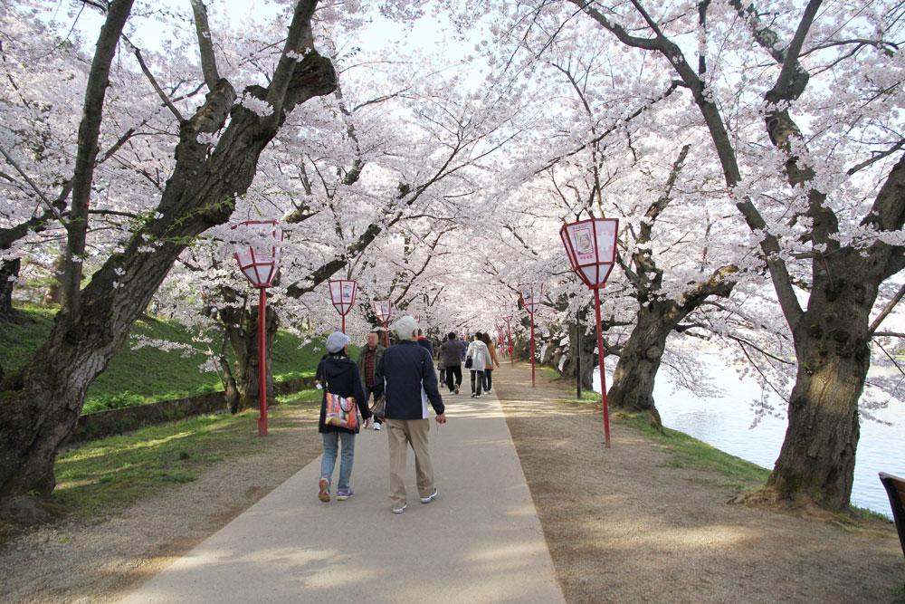 2016年4月24日 桜のトンネルも満開に