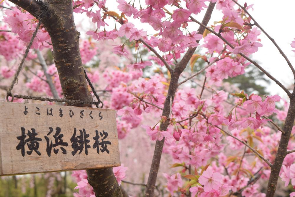弘前公園さくら情報(第18回)【弘前公園・弘前城】