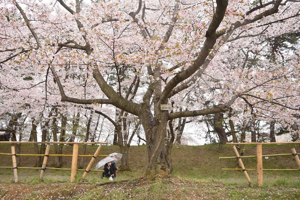 弘前さくら祭り・昭和桜