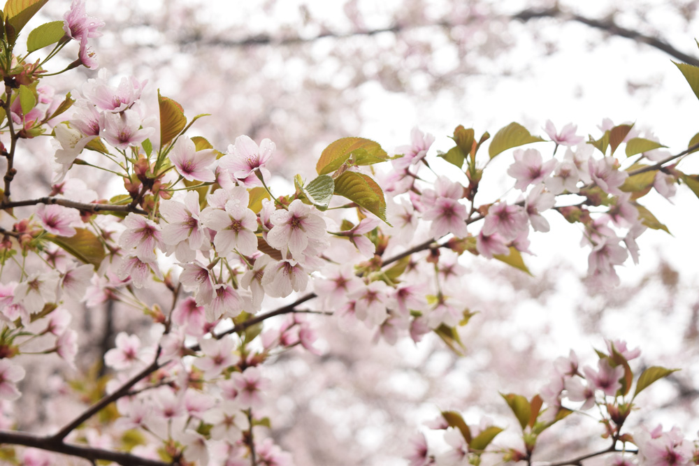 桜まつり・ショウワザクラ