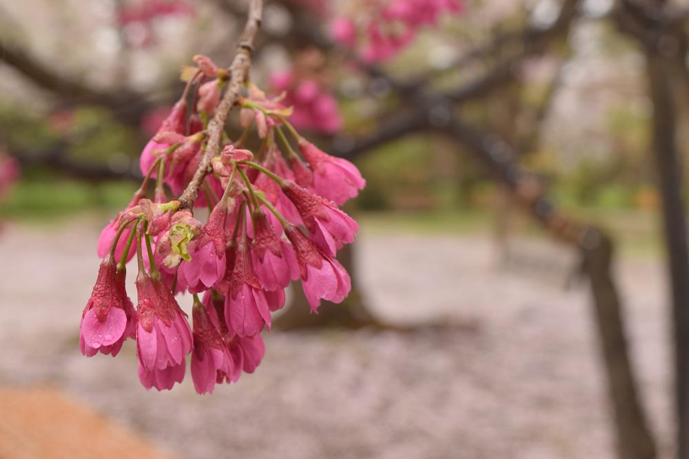 桜まつり・カンヒザクラ