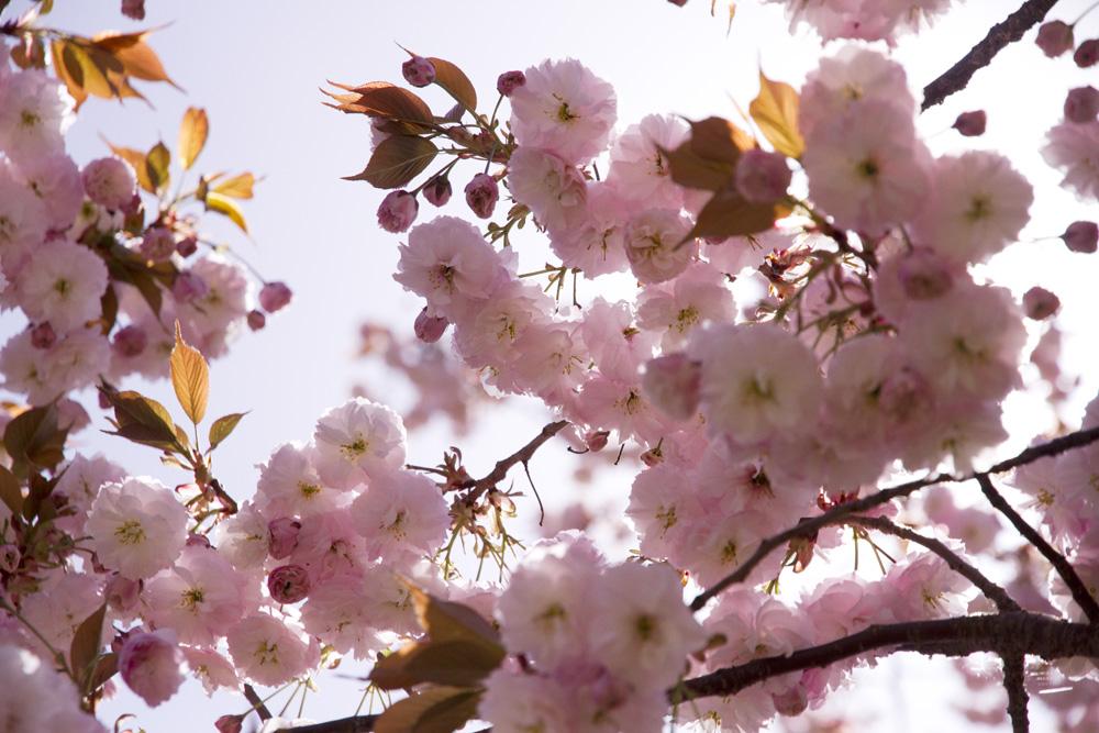 本丸の八重桜