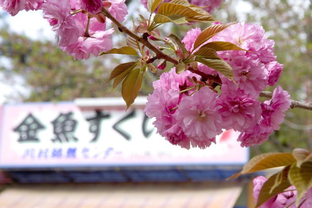 四の丸の八重桜