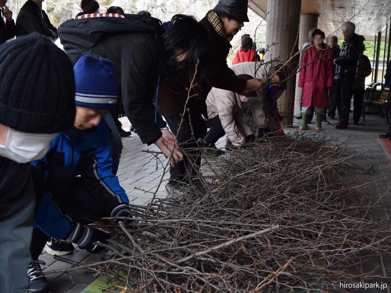 弘前公園の桜のせん定枝を無料配布