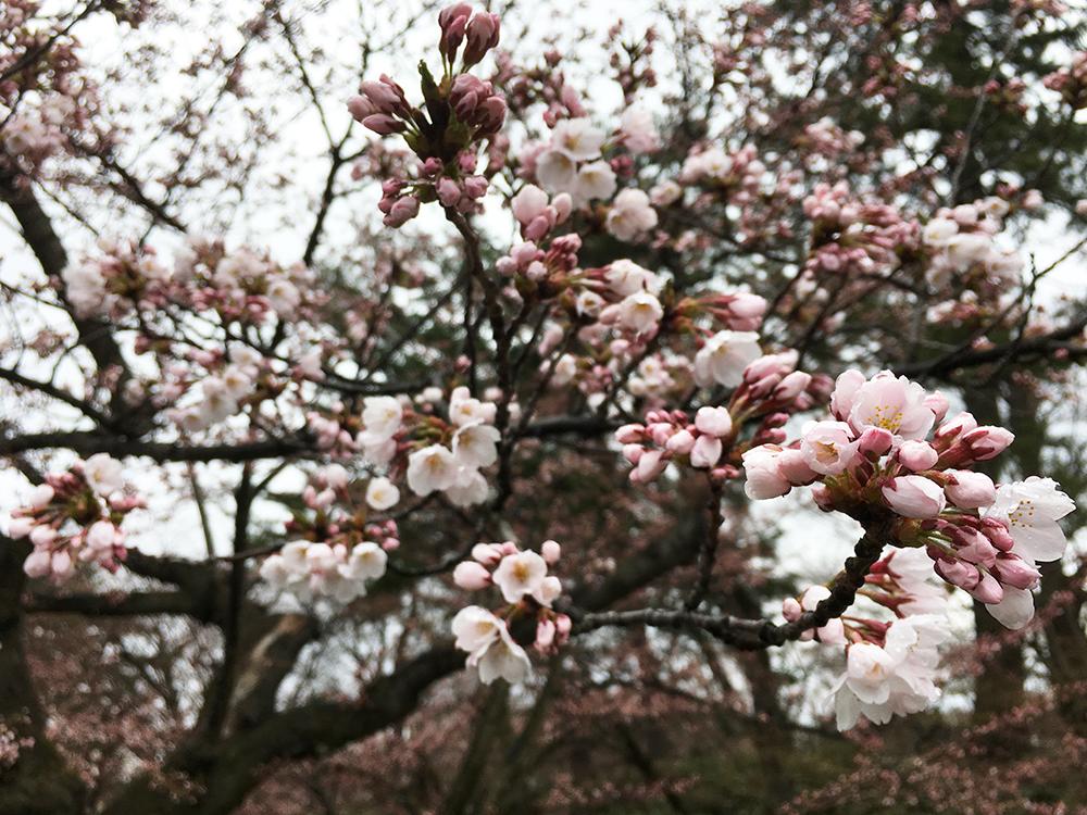 追手門付近の桜の様子