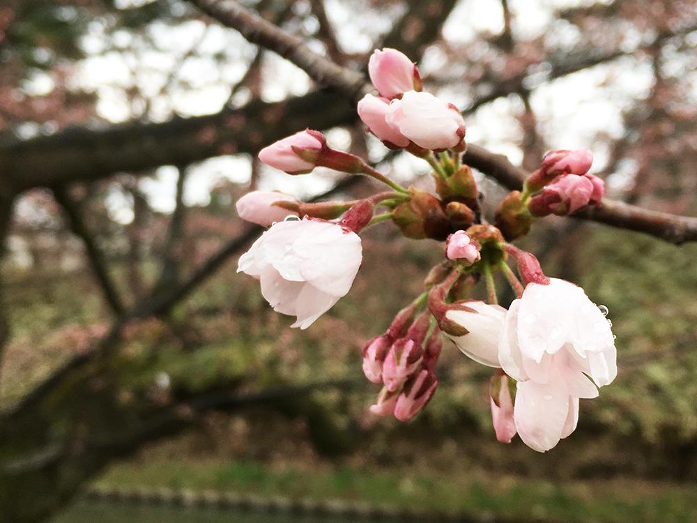 2017年4月19日の弘前公園内の様子