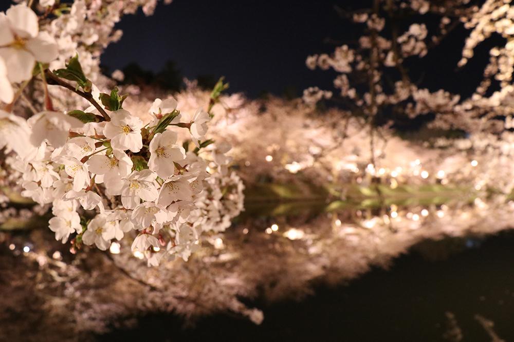 弘前公園 西濠付近の桜<