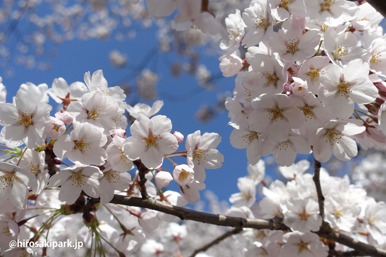 弘前公園 桜 満開