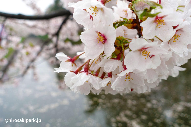 弘前公園 桜 2017