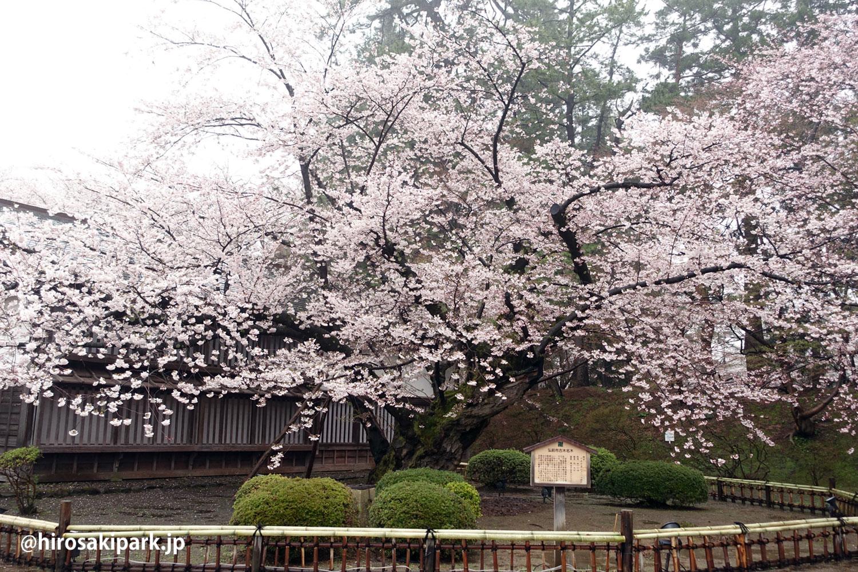 弘前公園 最古のソメイヨシノ(二の丸)