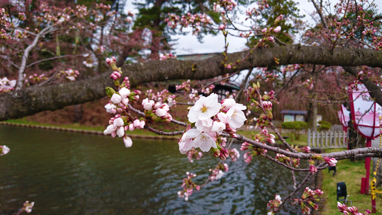 弘前公園 外濠の桜