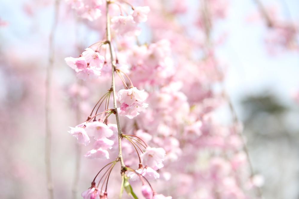 弘前公園・ピクニック広場「八重紅枝垂」