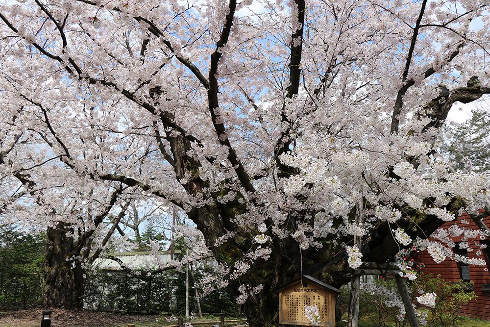 弘前公園 日本一太いソメイヨシノ(相談所裏)