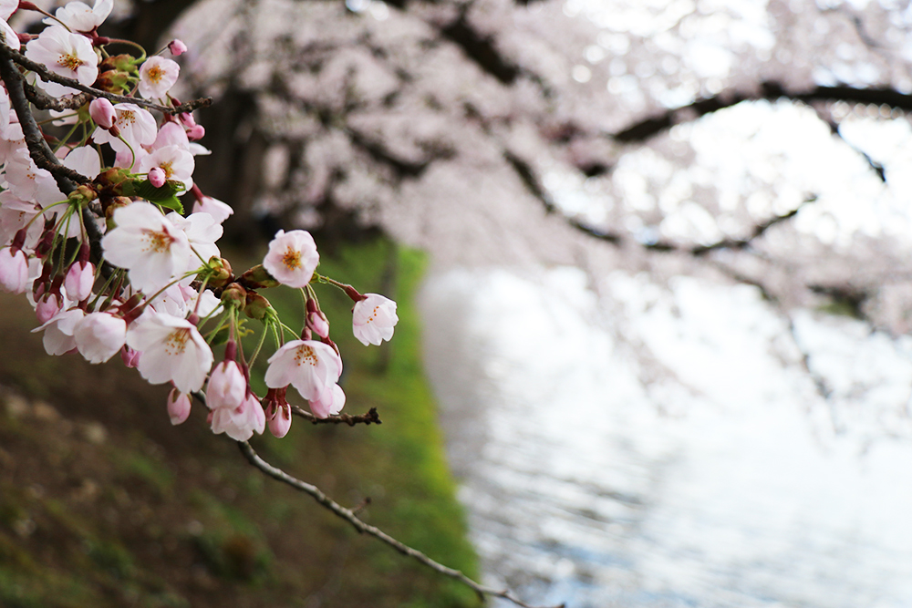 弘前公園 西濠付近の桜