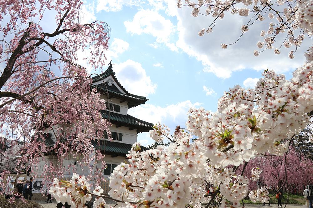 弘前公園 本丸の桜