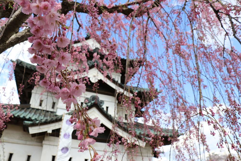 弘前公園 本丸とベニシダレザクラ