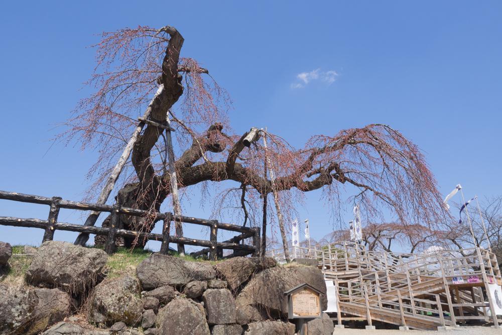 弘前公園 本丸シダレ桜