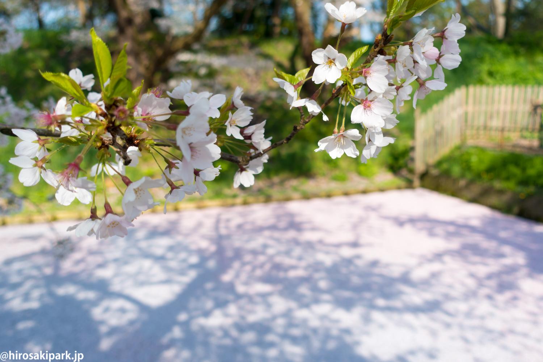 2017年4月30日付 弘前公園さくら情報(第18回)【弘前公園・弘前城】