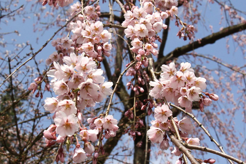 弘前公園 ソメイヨシノ