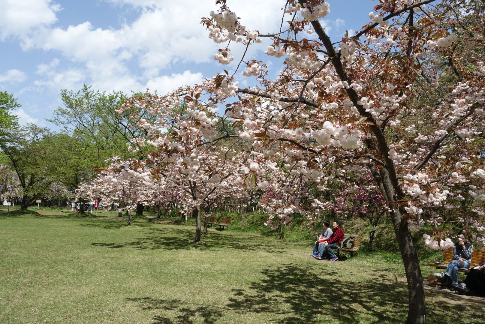 2017年5月7日付 弘前公園さくら情報(第25回)【弘前公園・弘前城】