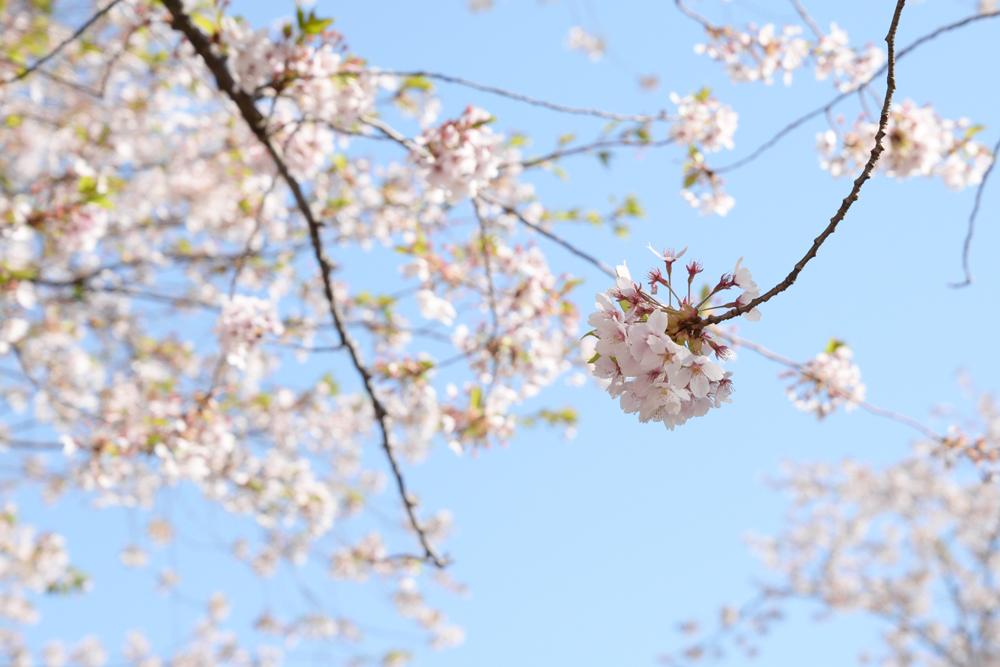 弘前公園・園内のソメイヨシノ