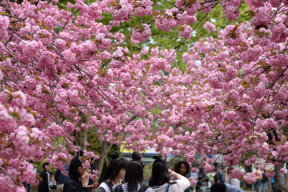 2017年5月6日付 弘前公園さくら情報(第23回)【弘前公園・弘前城】