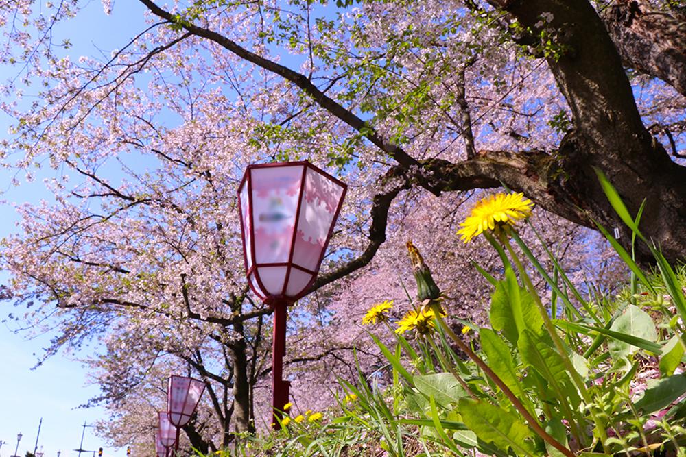 2017年5月1日付 弘前公園さくら情報(第19回)【弘前公園・弘前城】