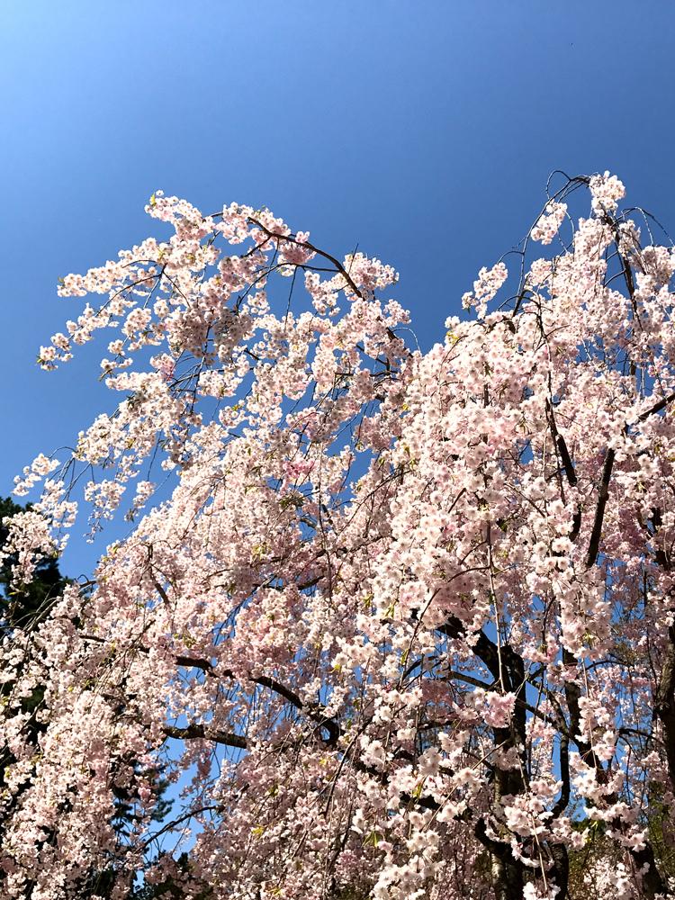 2017年5月3日付 弘前公園さくら情報(第21回)【弘前公園・弘前城】シダレザクラ全体像