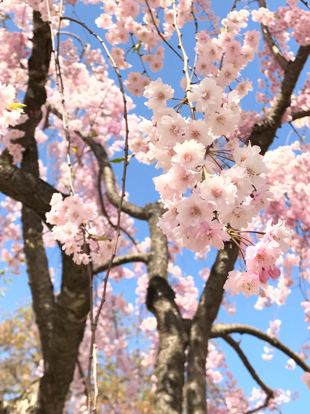 2017年5月3日付 弘前公園さくら情報(第21回)【弘前公園・弘前城】シダレザクラ