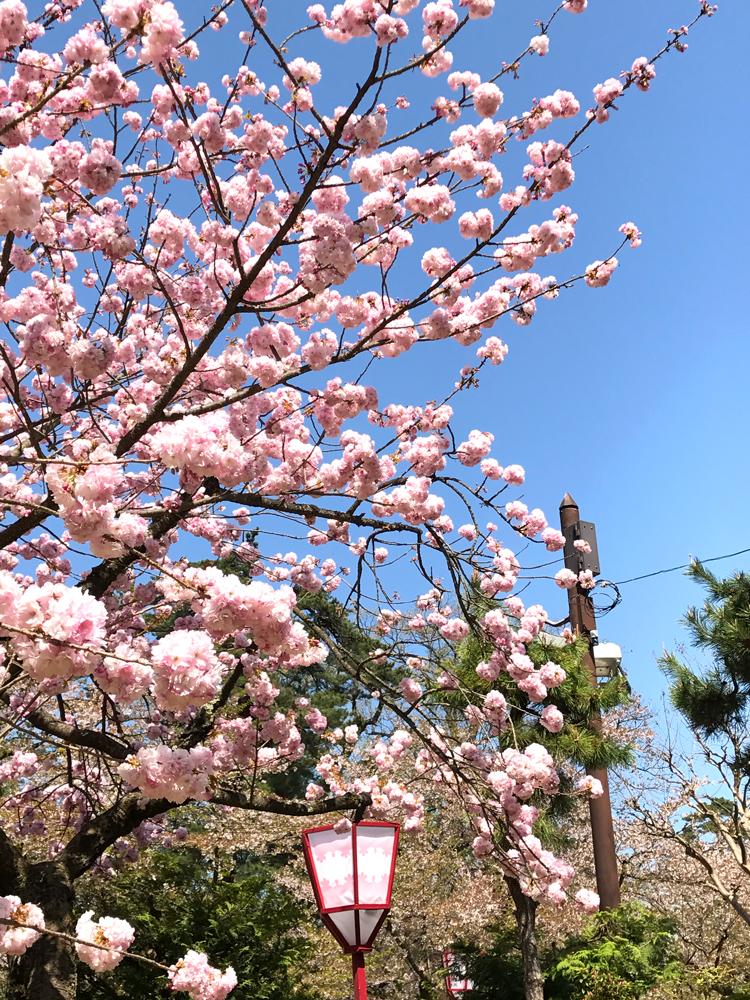 2017年5月3日付 弘前公園さくら情報(第21回)【弘前公園・弘前城】横浜緋桜