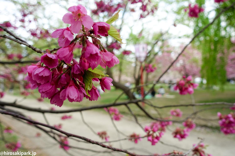 寒緋桜(カンヒザクラ) 【弘前公園・弘前城】