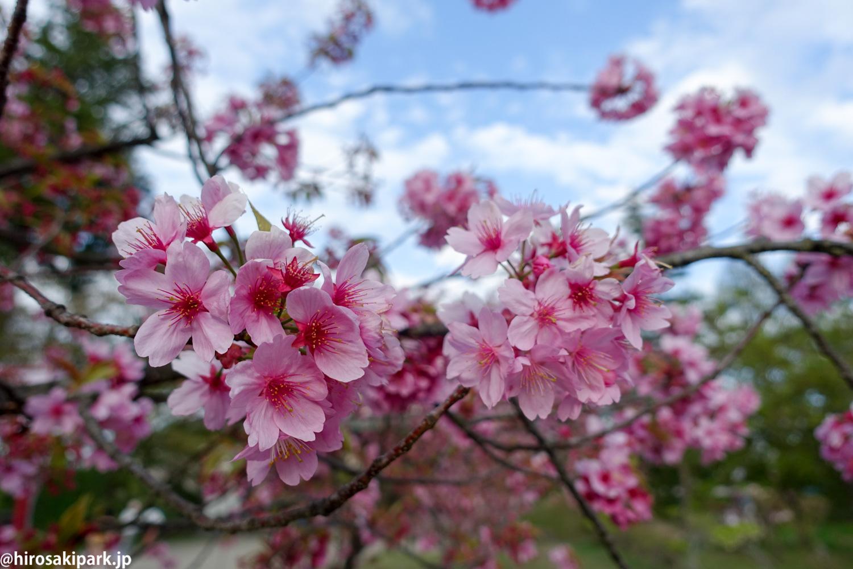 横浜緋桜(ヨコハマヒザクラ)【弘前公園・弘前城】