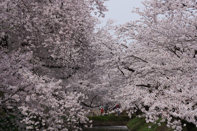 弘前城・弘前公園 桜 満開
