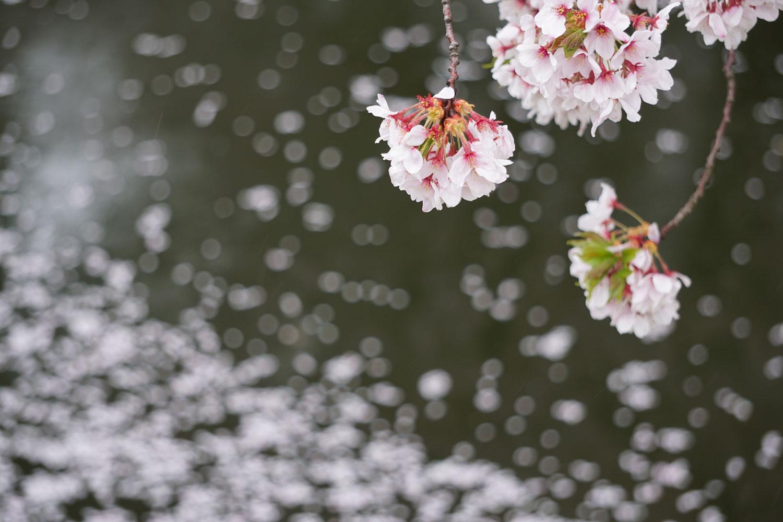 弘前公園 (2018年4月25日 撮影)