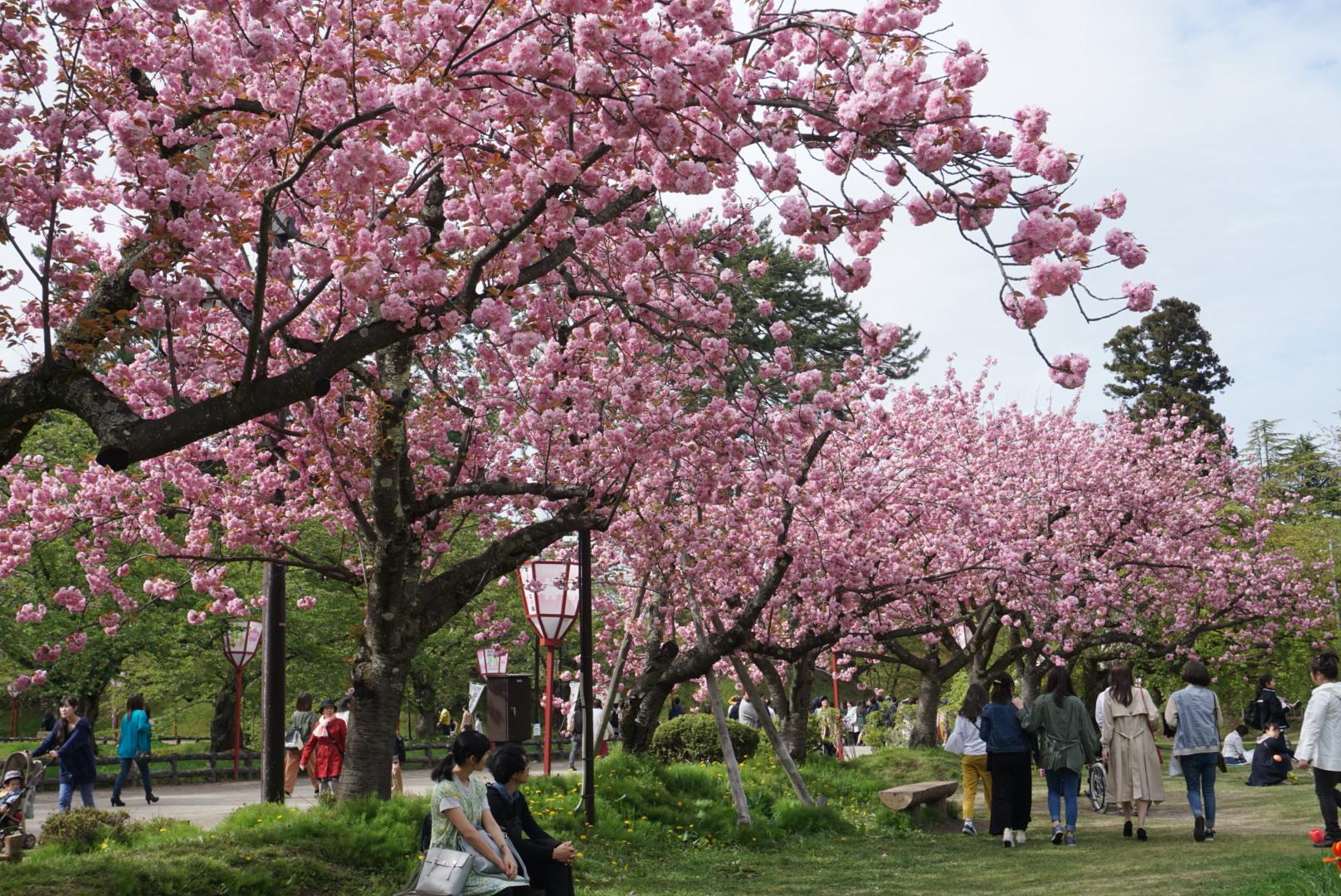 2018年5月5日 弘前公園 さくら
