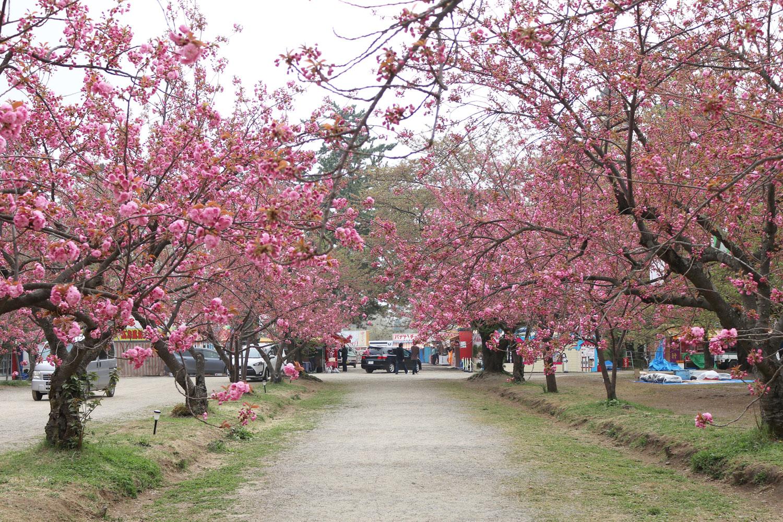 弘前公園さくら情報